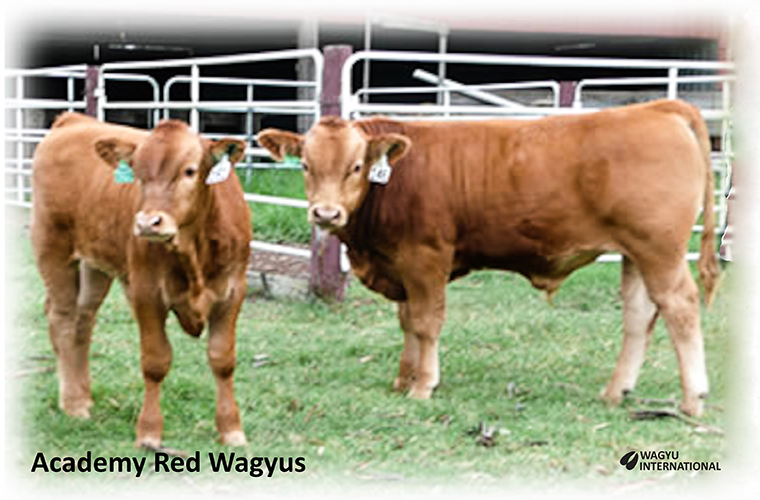 Photo of Red Wagyu heifers from Academy Red Wagyus