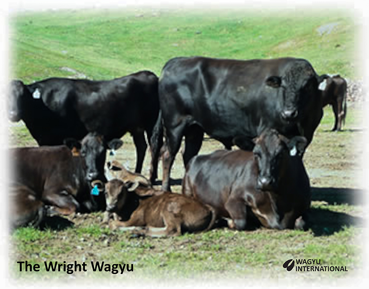 Photo of Westholme Hirashigetayasu Z278 with Black Wagyu cows and calves