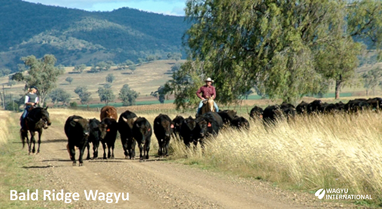 Photo of Wagyu herd being mustered on Bald Ridge Wagyu on horseback