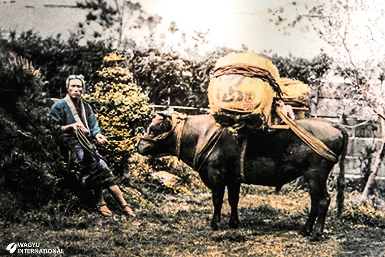 Photo of the origins of the Wagyu breed which was initially used for draught work in agriculture and transport