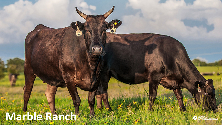 Wagyu cows at Marble Ranch in Texas