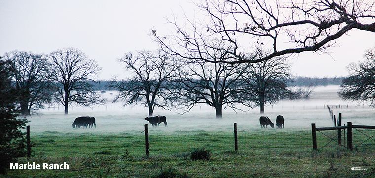 Wagyu on Marble Ranch, Texas in the early morning mist