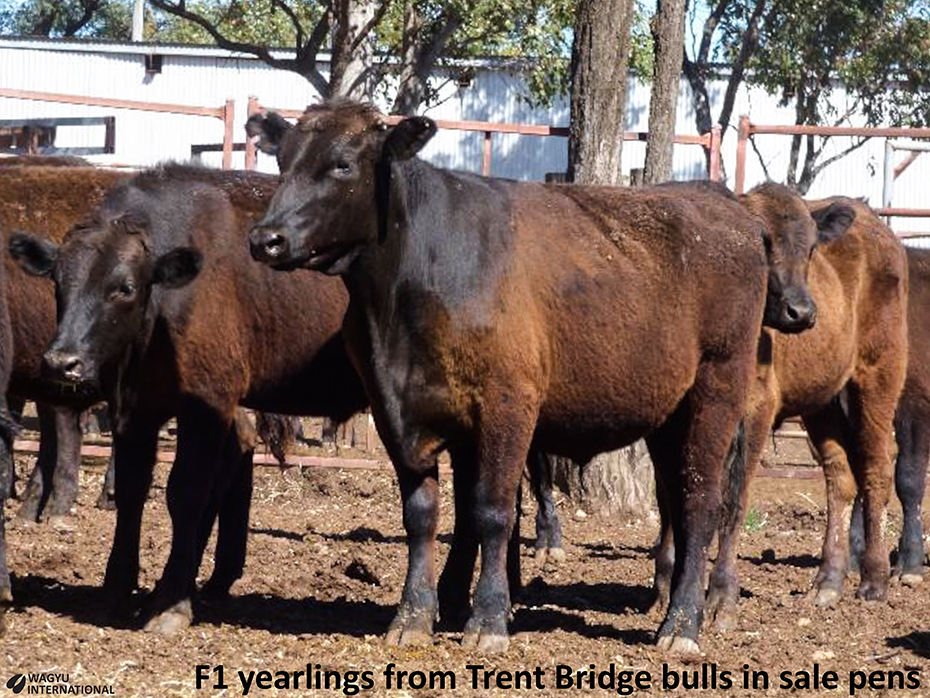 F1 50% Wagyu cross yearling steers at sale yards in Quuensland from Trent Bridge bulls
