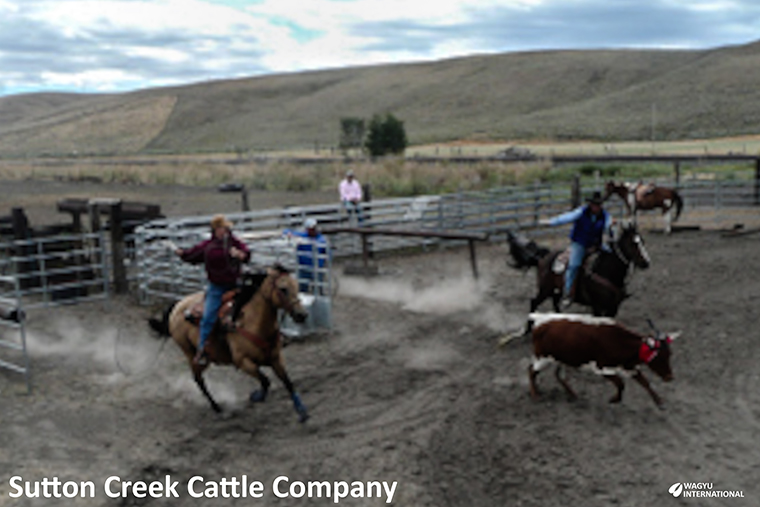 Working cattle in yard on Sutton Creek Cattle Company
