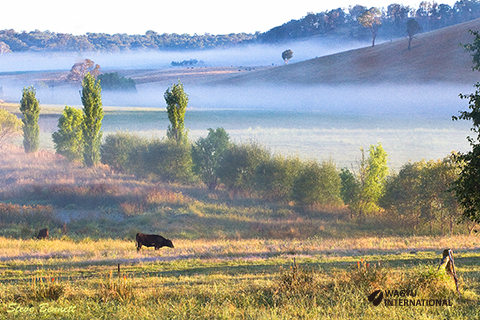 Wagyu heifer in mist in valley with long shadows