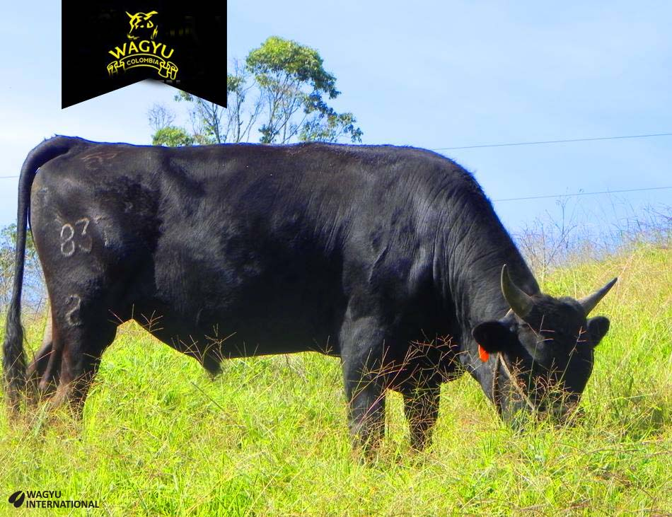 Wagyu Colombia bull