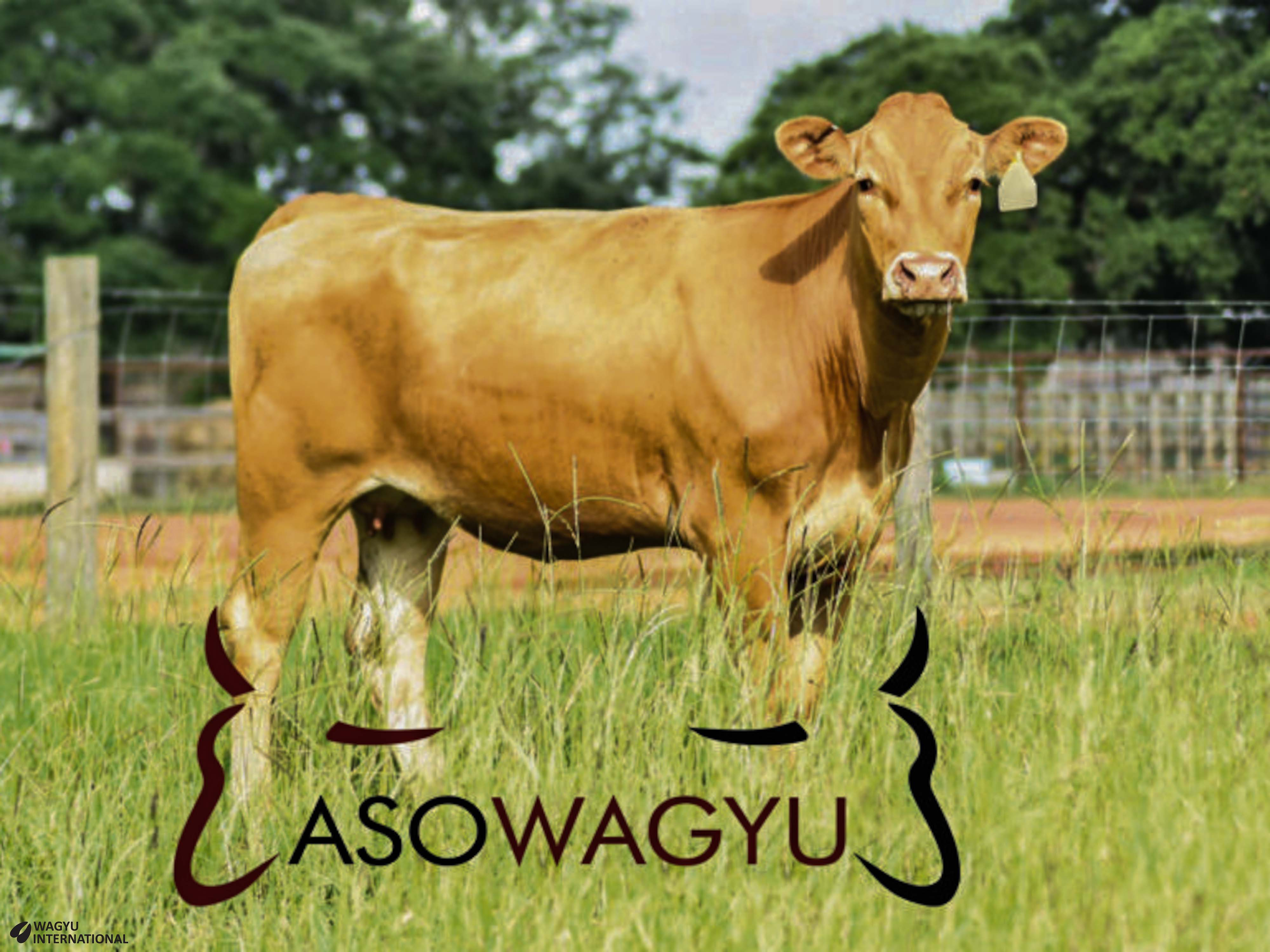 Red Wagyu cow in Colombia with Asowagyu logo on Wagyu International website