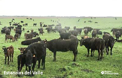 Wagyu cows and calves on rangeland in Uruguay on Wagyu International page